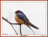 20150424 108 Barn Swallow 1r1.jpg