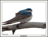 20150424 047 Tree Swallow.jpg