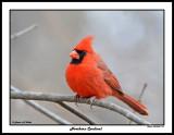 20150424 123 Northern Cardinal.jpg