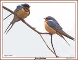 20150424 106 108 Barn Swallows.jpg