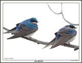 20150424 064 Tree Swallows.jpg