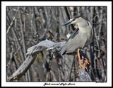 20150429 165 Black-crowned Night Heron.jpg