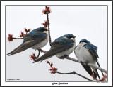 20150424 004 Tree Swallows.jpg