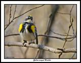 20150430 096 Yellow-rumped Warbler.jpg