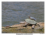 20150430 317 SERIES -  Snapping Turtle and Painted Turtles.jpg