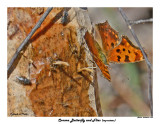 20150416 932 Comma Butterfly and Flies.jpg