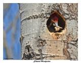 20150430 438 SERIES - Pileated Woodpecker.jpg