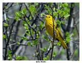20150504 089 Yellow Warbler.jpg