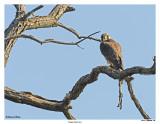20150505 188 SERIES -  Peregrine Falcon (juv).jpg