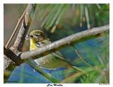 20150430 039 Pine Warbler.jpg
