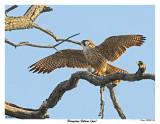 20150505 256 SERIES -  Peregrine Falcon (juv).jpg