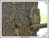 20150508 520 Eastern Screech Owl.jpg