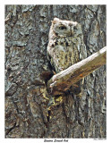 20150508 249 Eastern Screech Owl.jpg