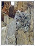 20150509 220 Eastern Screech Owl.jpg