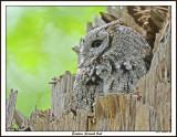 20150509 328 Eastern Screech Owl.jpg