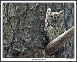 20150508 307 Eastern Screech Owl.jpg