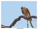 20150505 258 Peregrine Falcon (juv).jpg
