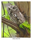 20150511 571 Eastern Screech Owl.jpg