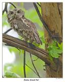 20150511 814 802 Eastern Screech Owl.jpg