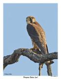 20150505 167 Peregrine Falcon( juv).jpg