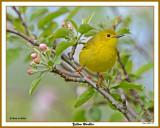201250515 527 Yellow Warbler.jpg