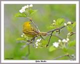 20150515 397 Yellow Warbler.jpg