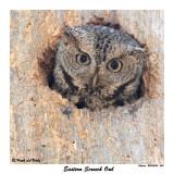 20150505 560 Eastern Screech Owl xxx.jpg