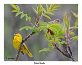20150515 018 Yellow Warbler.jpg