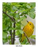 20150515 010 Yellow Warbler.jpg