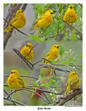 20150515 024 - 142 Yellow Warbler.jpg