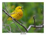 20150515 108 SERIES - Yellow Warbler.jpg