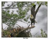 20150521 104 Bald Eagle 1r1.jpg