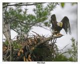 20150521 096 Bald Eagle.jpg