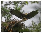 20150521 095 Bald Eagle1r1.jpg
