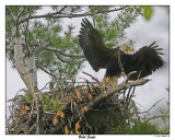 20150521 094 Bald Eagle rawc2.jpg