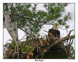 20150521 093 Bald Eagles.jpg