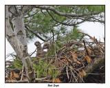 20150521 161 Bald Eagle.jpg