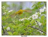 20150515 475 SERIES - Yellow Warbler xxx.jpg