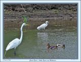 20150608 - 1 173, 016 Great Egret Little Egret and Mallards 1r1.jpg