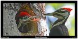 20150611 067 Pileated Woodpeckers.jpg