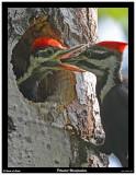 20150611 065 Pileated Woodpeckers.jpg
