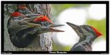 20150611 034 Pileated Woodpeckers2r1.jpg