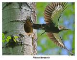 20150604 416 SERIES -  Pileated Woodpecker xxx.jpg