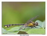20150615 098 SERIES -  Midland Clubtail Dragonfly.jpg