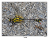 20150615 038 SERIES - Midland Clubtail Dragonfly.jpg