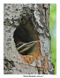 20150613 113 Pileated Woodpecker .jpg