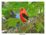 20150619 - 2 265 Scarlet Tanager.jpg