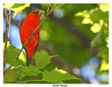 20150619 - 1 021 Scarlet Tanager2.jpg