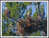 20150626 211 Bald Eagles 1r1.jpg