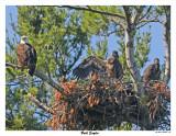 20150626 560 Bald Eagles.jpg